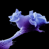 Human Macrophage Moving, SEM Fotografisk tryk af David Phillips
