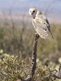 Barn Owl (Tyto Alba), Arizona, USA, Controlled Situation Papier Photo par Mary Ann McDonald