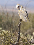 Barn Owl (Tyto Alba), Arizona, USA, Controlled Situation Photographic Print by Mary Ann McDonald