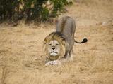 Male African Lion Stretching (Panthera Leo), Masai Mara, Kenya Photographic Print by Joe McDonald