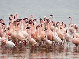 Lesser Flamingos Courtship Dance (Phoenicopterus Minor), Lake Nakuru, Kenya Photographic Print by Mary Ann McDonald