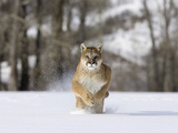 Mountain Lion (Felis Concolor), Running in the Snow, North America Photographic Print by Joe McDonald