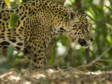Jaguar (Panthera Onca) Along a Riverbank in Brazil's Pantanal Wetlands Photographie par Joe McDonald