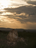 African Lion Sitting on the Savanna at Sunset (Panthera Leo), Masai Mara, Kenya Photographic Print by Joe McDonald