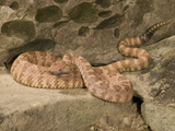 Panamint Rattlesnake (Crotalus Stephensi) on a Rock Photographic Print by Joe McDonald