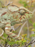 Giant Madagascar or Oustalet's Chameleon Female Walking on a Branch (Furcifer Oustaleti) Photographic Print by Thomas Marent