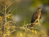 Snail Kite Immature Male (Rostrhamus Sociabilis), Pantanal, Brazil Photographic Print by Mary Ann McDonald