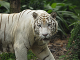 White Tiger (Panthera Tigris), Singapore Photographic Print by Thomas Marent