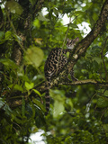 Oncilla or Tiger Cat in Tree Hunting Birds (Leopardus Tigrinus), Arenal, Costa Rica Photographie par Mary Ann McDonald