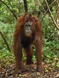 Borneo Orangutan Female with its Baby Riding on its Back While Knuckle Walking Photographic Print by Thomas Marent