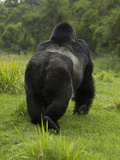 Mountain Gorilla (Gorilla Beringei Beringei) Silverback Male Photographic Print by Joe McDonald
