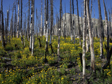 Succession in a Burned Forest, Glacier National Park, Montana, USA Photographic Print by Marli Miller