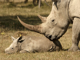 White Rhinoceros (Ceratotherium Simum) Adult and Calf, Masai Mara, Kenya Photographic Print by Joe McDonald