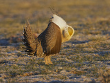 Male Greater Sage-Grouse (Centrocercus Urophasianus) Photographic Print by Jack Milchanowski