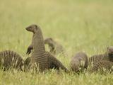 Group of Banded Mongoose (Mungos Mungo), Serengeti, Tanzania Photographic Print by Joe McDonald
