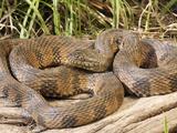 Diamondback Water Snake (Nerodia Rhombifer), Southeastern Missouri, USA Photographic Print by Gerold & Cynthia Merker