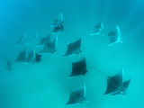 Devil Ray (Mobulhypostoma) Group Feeding on Zooplankton, Yum Balam Marine Protected Area Photographic Print by Louise Murray