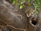 African Leopard Restping in a Tree (Panthera Pardus), Masai Mara Game Reserve, Kenya, Africa Photographic Print by Joe McDonald