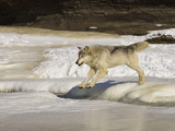 Gray Wolf (Canis Lupus) Crossing Frozen River, Northern Minnesota, USA Photographic Print by Jack Milchanowski