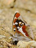 Purple Emperor Butterfly (Apatura Iris) Sucking Salts from the Ground Photographic Print by Fabio Pupin