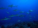 School of Gray Reef Sharks (Carcharhinus Amblyrhynchos), South Pass, Fakarava, Tahiti Island Reprodukcja zdjęcia autor Paul & Paveena McKenzie