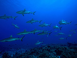 School of Gray Reef Sharks (Carcharhinus Amblyrhynchos), South Pass, Fakarava, Tahiti Island Photographic Print by Paul & Paveena McKenzie