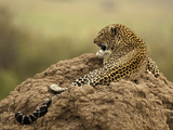 Jaguar (Panthera Onca) Laying on Termite Mound, Samburu Game Reserve, Kenya, Africa Photographic Print by Mary Ann McDonald