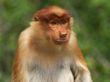 Female Proboscis Monkey Face (Nasalis Larvatus), Sabah, Borneo, Malaysia Photographic Print by Thomas Marent