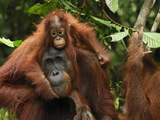 Borneo Orangutan Female with its Baby (Pongo Pygmaeus) Tanjung Puting National Park, Kalimantan Photographic Print by Thomas Marent