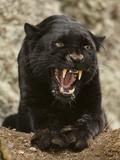 Black Panther (Panthera Onca), Melanistic Morph, Growling and Snarling, Captivity Fotografisk tryk af Joe McDonald
