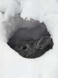Mountain Cottontail (Sylvilagus Nuttallii) Hiding in a Hole in the Snow, Front Range, Colorado Papier Photo par Robert & Jean Pollock