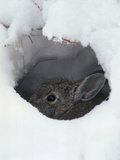 Mountain Cottontail (Sylvilagus Nuttallii) Hiding in a Hole in the Snow, Front Range, Colorado Photographic Print by Robert & Jean Pollock
