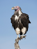 Lappet-Faced Vulture (Torgos Tracheliotos) Perched in the Masai Mara Game Reserve, Kenya Photographic Print by Joe McDonald