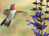 Broad-Tailed Hummingbird (Selasphorus Platycercus) Male Flying at Salvia (Salvia Guaranitica) Photographic Print by Jack Milchanowski