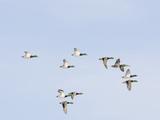 Male and Female Mallard Ducks (Anas Platyrhynchos), Montana, USA Photographic Print by Neal Mischler