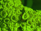 Protopalythoa Coral Filter Feeding Polyps at Night Fluorescing Green under Blue Light, Thailand Photographic Print by Louise Murray