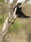 Black and White Colobus Monkey (Colobus Guereza) in Tree, Mount Kenya National Park, Kenya, Africa Photographic Print by Joe McDonald