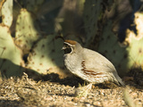 Gambel's Quail (Callipepla Gambelii), Southwestern USA Photographic Print by Joe McDonald