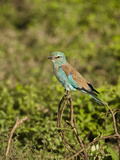 Eurasian Roller (Coracias Garrulus), Serengeti National Park, Tanzania Photographic Print by Mary Ann McDonald