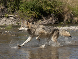 Gray Wolf (Canis Lupus) Running Through a River, Montana, USA Photographic Print by Joe McDonald