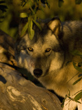 Gray Wolf (Canis Lupus) Hiding, Seacrest Wolf Preserve, Florida, USA Photographic Print by Jack Milchanowski