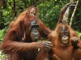 Borneo Orangutans with a Baby (Pongo Pygmaeus) Tanjung Puting National Park, Kalimantan Photographic Print by Thomas Marent
