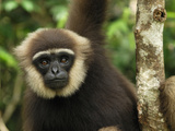Dark-Handed or Agile Gibbon (Hylobates Agilis) Tanjung Puting National Park, Kalimantan Photographic Print by Thomas Marent