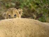 African Lion (Panthera Leo) Cub Looking over Female in the Masai Mara Game Reserve, Kenya Photographic Print by Joe McDonald