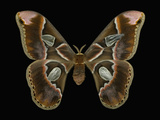 Female Adult Stage of the Moth (Rothschildia Lebeau) This Moth Has a Wingspan of 20-23 Cm Photographic Print by Jeffrey Miller