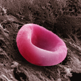 A Red Blood Cell or Erythrocyte, the Blood Cell Responsible for Oxygen Transport Photographic Print by David Phillips