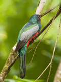 Slaty-Tailed Trogon Male (Trogon Massena), Costa Rica Photographic Print by Mary Ann McDonald