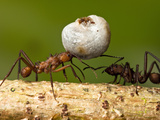 Leaf-Cutter Ant Carrying a Large Piece of Plant (Acromyrmex), Central America Photographic Print by Joe McDonald