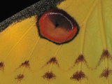 Eyespot on the Wing of the Comet Moth (Argema Mittrei) Photographic Print by Thomas Marent