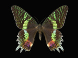 African Sunset Moths (Chrysiridicroesus) Photographic Print by Jeffrey Miller